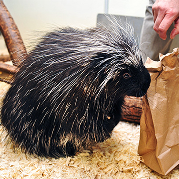 Porcupine snacking