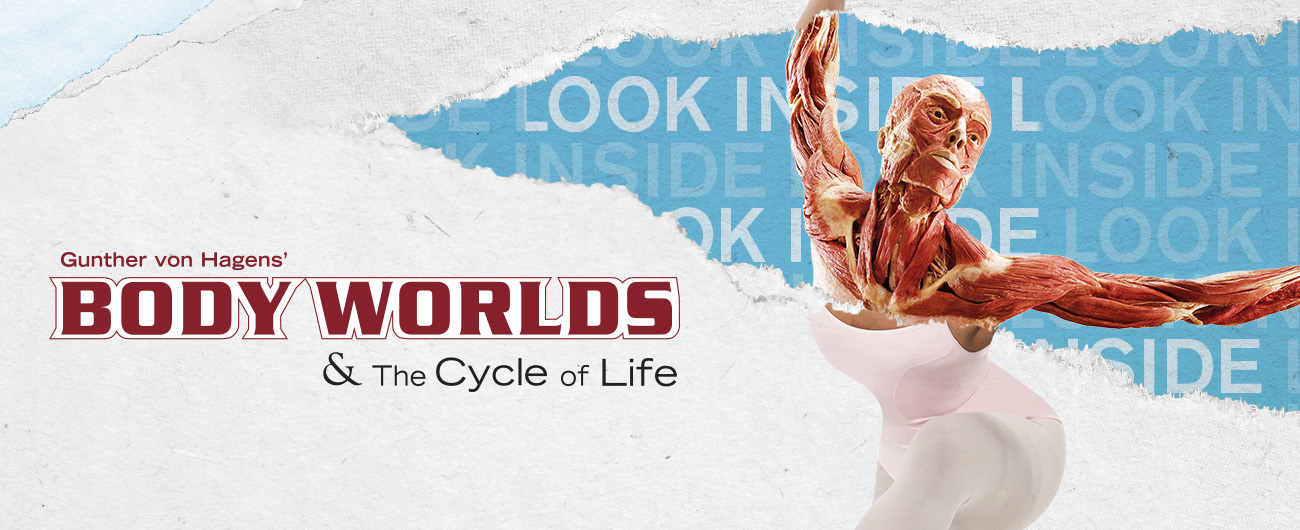 BODY WORLDS & the Cycle of Life Comes to the Museum of Science June