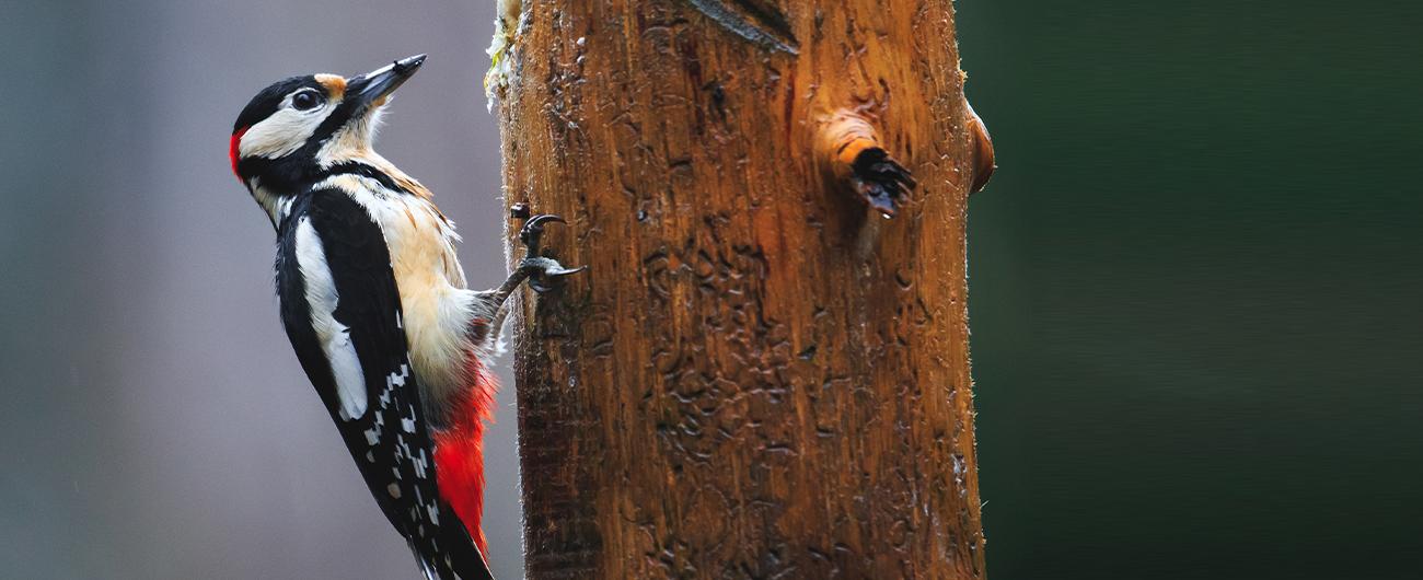 public://images/main/uploads/slides/Pulsar-Woodpeck-LP.jpg