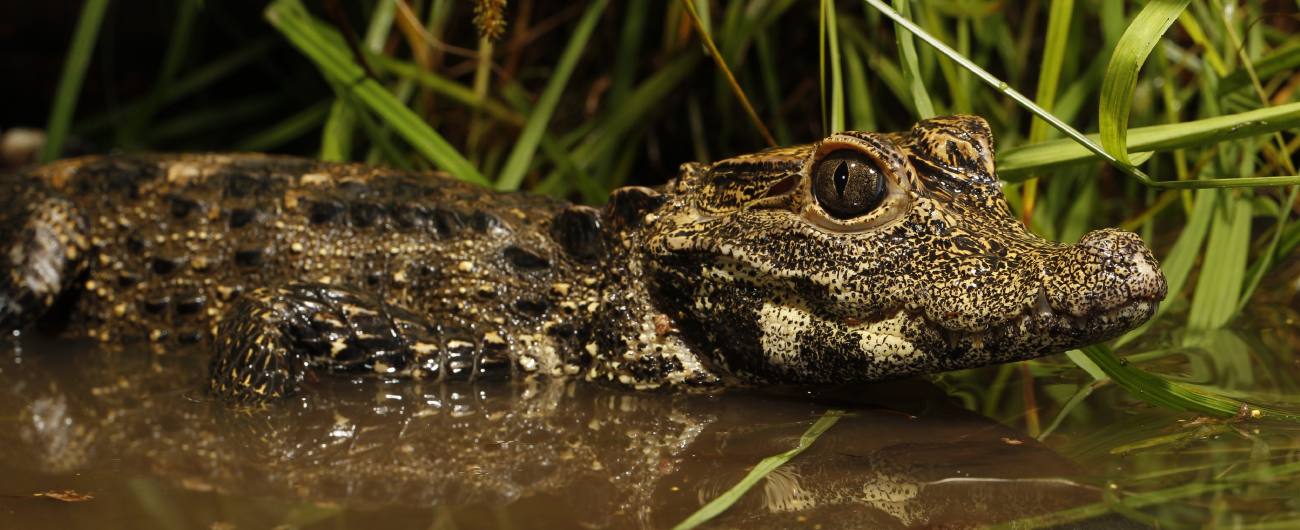 Crocs: Ancient Predators in a Modern World