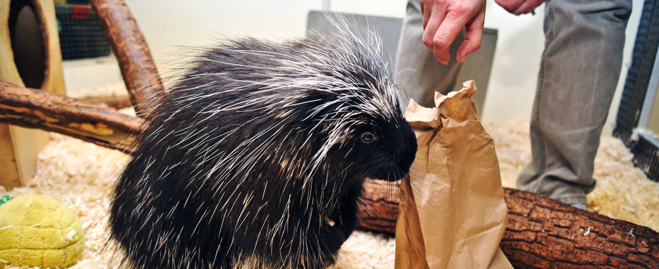 Photo of porcupine at the Live Animal Care Center