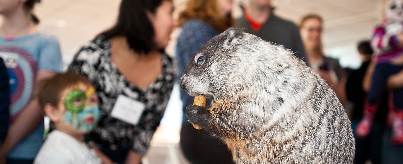 Groundhog in a Live Animal Presentation