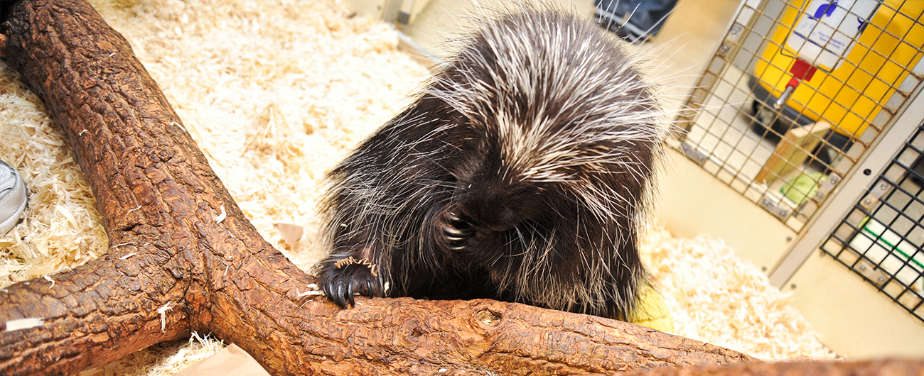 Porcupine in the Live Animal Care Center