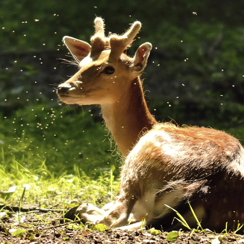Deer lying in a pasture