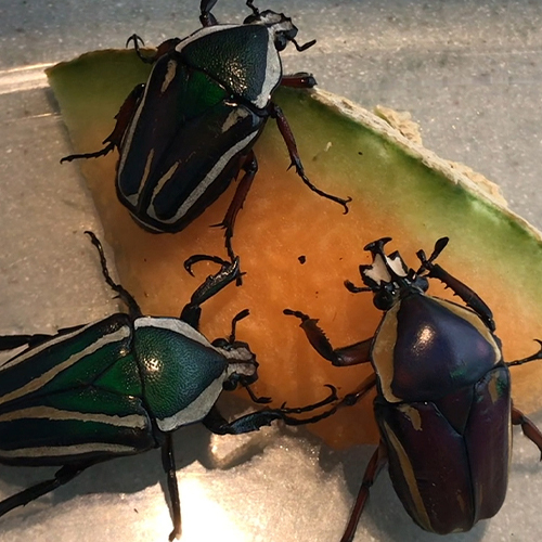 Three Derby's Flower Beetles on a piece of cantaloupe.