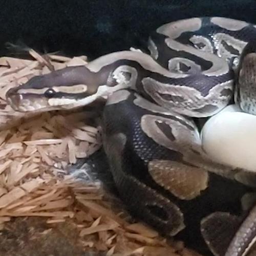 Ball Python coiled around its egg.