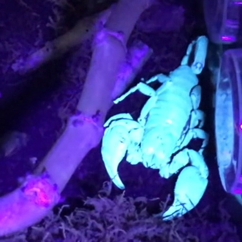 Asian Forest Scorpion as it appears under blacklight.