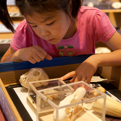 Young girl examines various small animal skulls