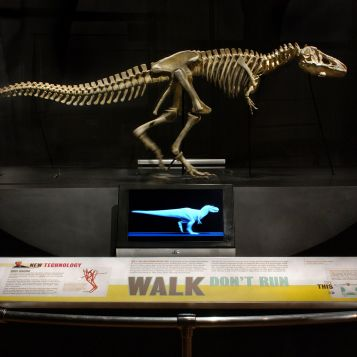 Robotic Tyrannosaurus rex. A six-foot-long mechanical T. rex skeleton walks in place in the exhibition Dinosaurs: Ancient Fossils, New Discoveries, opening June 5, 2011, at the Museum of Science, Boston. Photographer: Craig Chesek