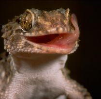 Gecko licking eye.