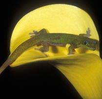 Jewel day gecko.
