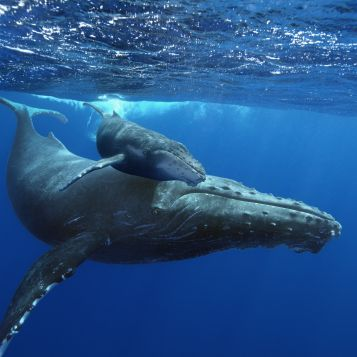A mother humpback whale and her calf.