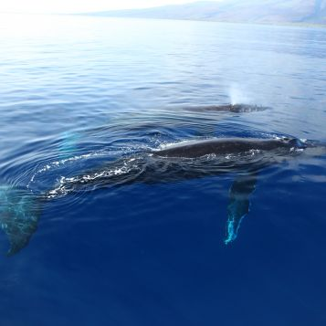 A mother humpback whale and her calf surface off the coast of Maui.
