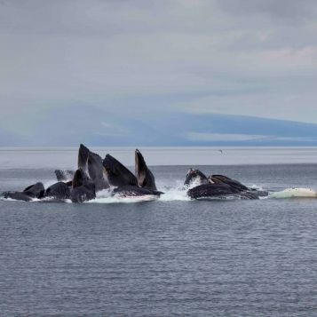 A group of humpback whales bubble-net feeding off the coast of Alaska.