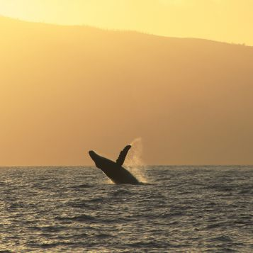 An adult humpback whale breaches off the coast of Maui.