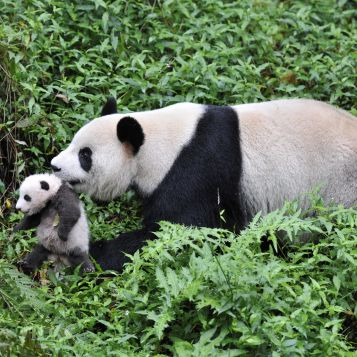 Mother panda carrying her cub