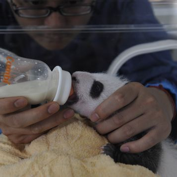 Baby panda in an incubator, being bottle fed