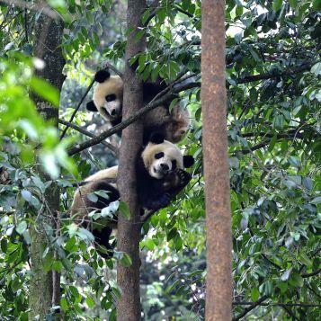 Pandas in a tree