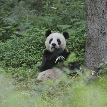 Adult Panda at the breeding centre.