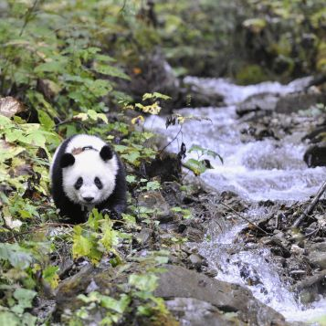One year old Xiao Xi Xi at Deng Sheng Valley, Wolong, Sichuan. - with tracking collar