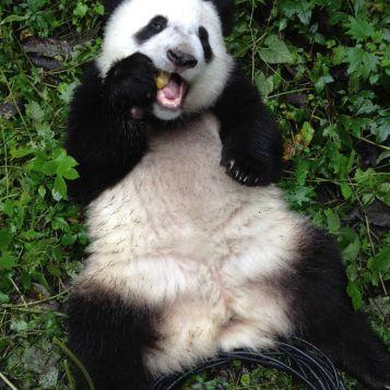 Adult Panda reclining